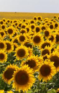 sunflowersside